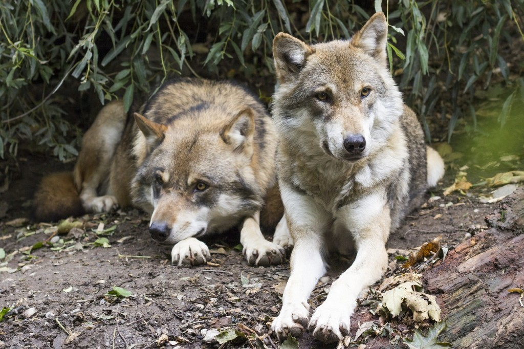 wolves-1388558_1280